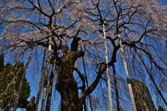 永泉寺の桜2 ~ 力強く ~