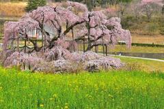 三春滝桜 2020 2