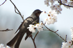 桜の香りに酔い痴れて