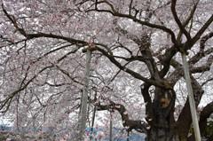 巨桜咲く 2