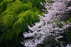 緑映桜 2