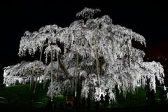 偉大なる巨桜 2