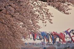 釈迦堂川の春 2
