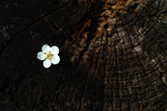 Blooming in the tree rings II
