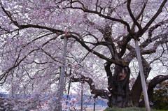 巨桜咲く 4