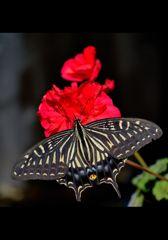アゲハ蝶 3