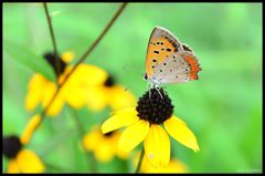 シジミ蝶 1