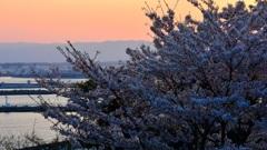 夕暮れ港桜