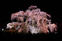 威風堂々 三春夜桜