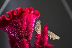 Celosia argentea 4