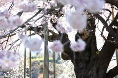 貫禄巨木桜 3