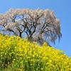芹ヶ沢の春