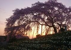 夕刻 金毘羅桜