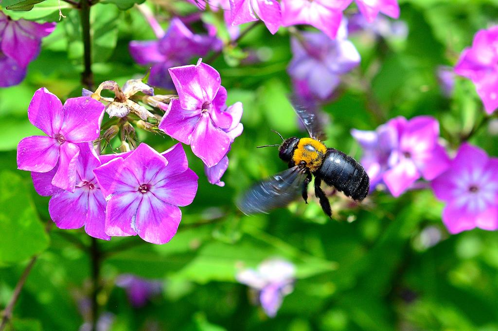 熊蜂の飛行