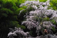 緑映桜 5