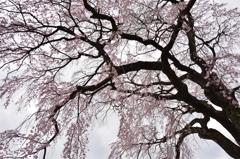 美春桜 2 ~ 伊勢桜 ~