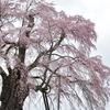 美春桜 1 ~ 上石の不動桜 ~