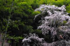 緑映桜 4