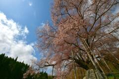 こしだいの桜  ~2021~