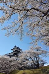 桜満開 ~ 白河小峰城~