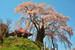 青空に映えて ~ 上石の不動桜 ~