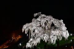偉大なる巨桜