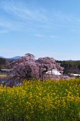 快晴滝桜 ~菜の花といっしょに~