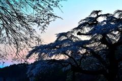 暮れ輝いて ~ 岩倉の桜 ~