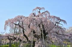 快晴滝桜 ~淡く美しく~