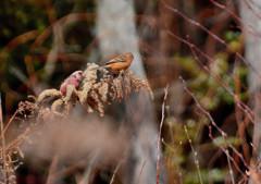 野鳥の食卓 ~冬のセイタカアワダチソウ~ 2