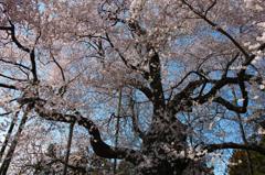 巨桜咲く 6