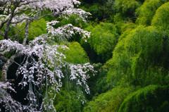 緑映桜 3