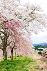 春爛漫 ~ 夏井の春 ~