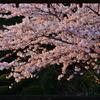 夕刻 桜 2