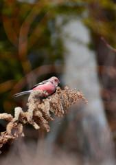 野鳥の食卓 ~冬のセイタカアワダチソウ~ 1
