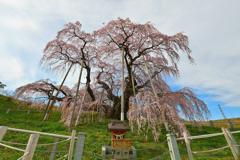 三春滝桜 2020 3