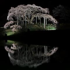 中島の夜桜