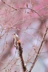 優彩の小啄木鳥