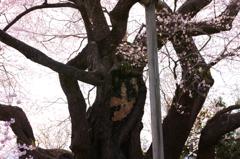 貫禄巨木桜