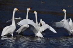 白鳥の舞 ~御別れの唱~