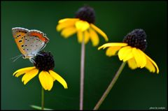 シジミ蝶 2
