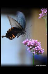 クロアゲハ 6 ~クロアゲハとピンクの花~