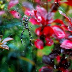 秋躑躅と蜘蛛