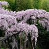 和 ~ 紅枝垂地蔵桜 ~