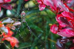 秋躑躅と蜘蛛 II