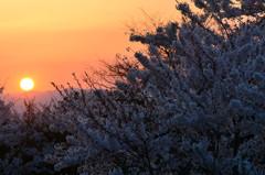 夕刻 桜 1