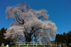 巨桜咲く 5