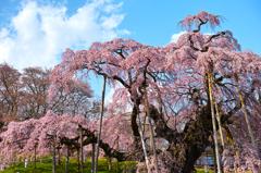 滝桜 ~太陽に照らされて~