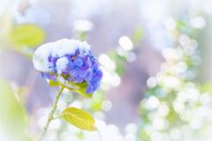 冬紫陽花 II