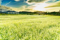 虹の降る蕎麦畑